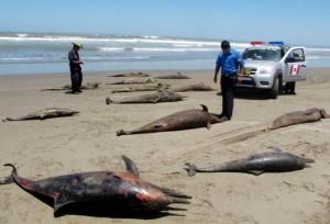 La US Navy annonce que des centaines de dauphins et de baleines vont mourir suite à des tests de bombe et de sonar entre 2014 et 2019 dans Crimes de Guerre, Terrorisme h_catombes_de_dauphins-300x204
